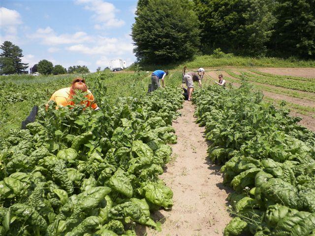 GWF Spinach Glean Field1